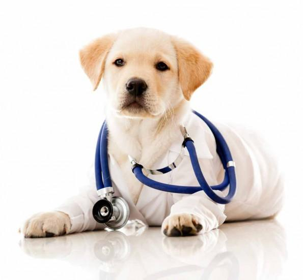 Puppy with stethescope