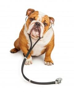 English Bulldog Veterinarian Dog